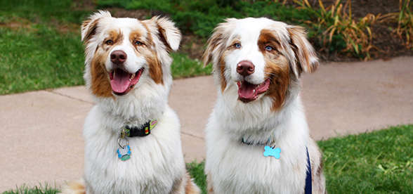 Australian Shepherd Dog Facts And Characteristics