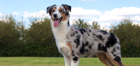 Australian Shepherd Dog Feeding And Diet
