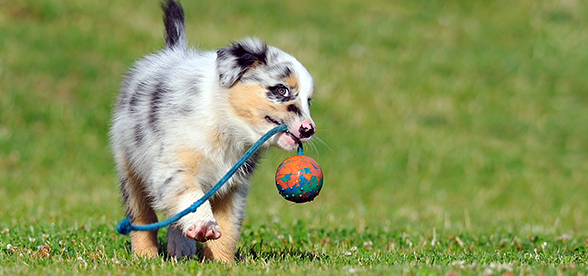 Australian Shepherd Dog Health Problems And Lifespan