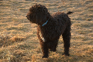 Barbet Dog Breeds