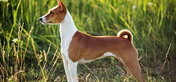 Basenji Dog Exercise And Personality