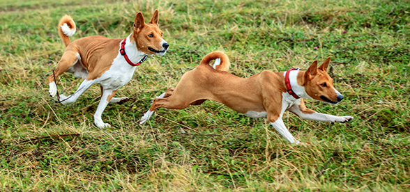 Basenji Dog Facts And Characteristics