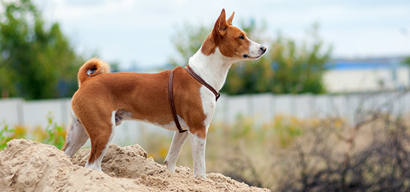 Basenji Dog Health Problems And Lifespan