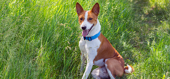 Basenji Dog Origin And History