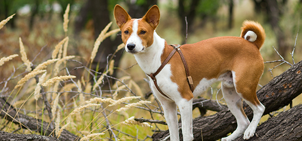 Basenji Dog Temperament And Training