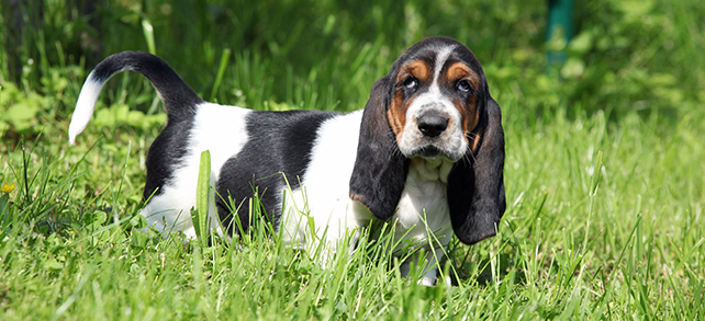 The Definitive Guide To Basset Hound Dogs