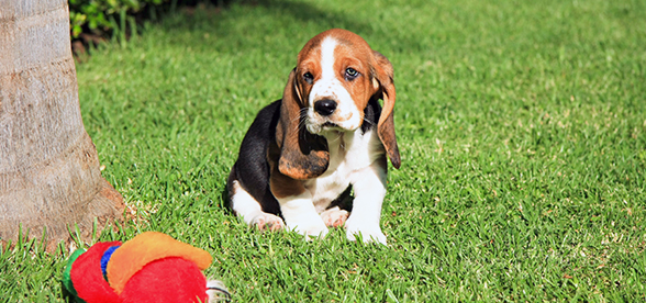 Basset Hound Dog Facts And Characteristics