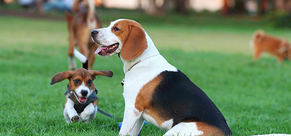 Beagle Dog Feeding And Diet