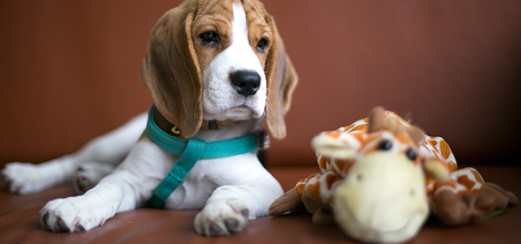 Beagle Dog Health Problems And Lifespan
