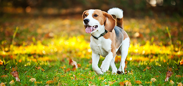 Beagle Dog Origin And History