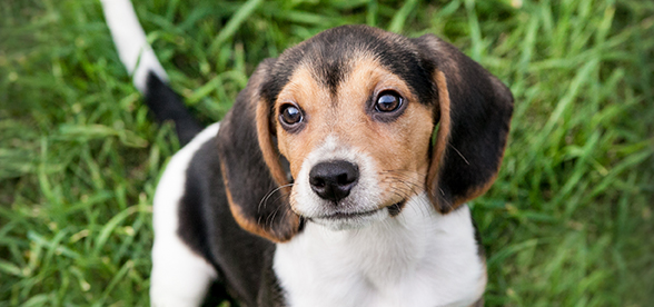 Beagle Dog Temperament And Training