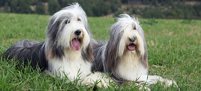 Bearded Collie Dogs