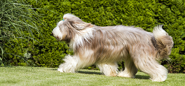 Bearded Collie Dog Feeding And Diet