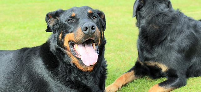 Beauceron Facts And Characteristics