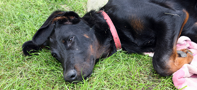 Beauceron Origin History