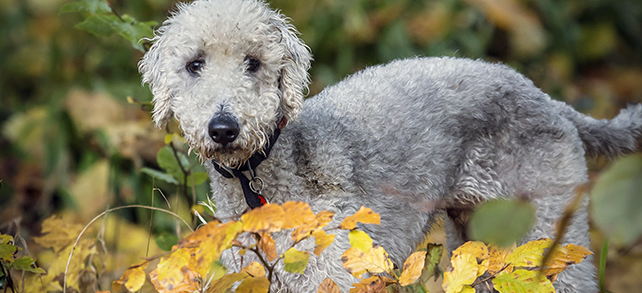The Definitive Guide To Bedlington Terrier Dogs