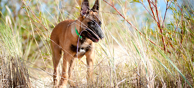 Belgian Malinois Shepherd Dog Breed