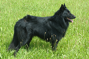 Belgian Sheepdog Breeds