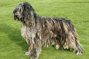 Bergamasco Dog Breeds