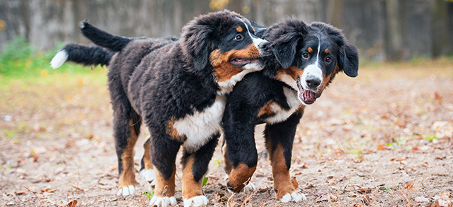 The Definitive Guide To Bernese Mountain Dogs