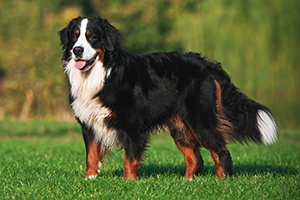 Bernese Mountain Dog Breeds