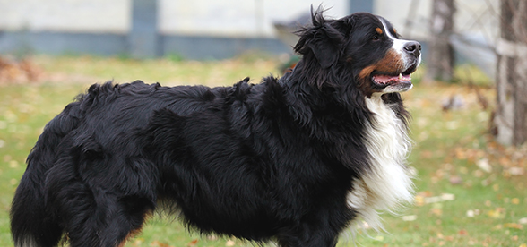 Bernese Mountain Dog Facts And Characteristics