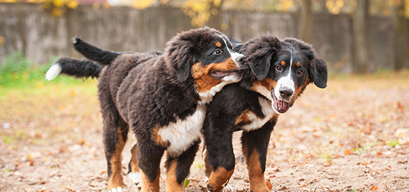 Bernese Mountain Dog Feeding And Diet
