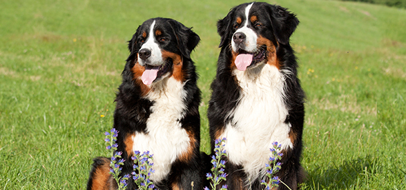 Bernese Mountain Dog Health Problems And Lifespan
