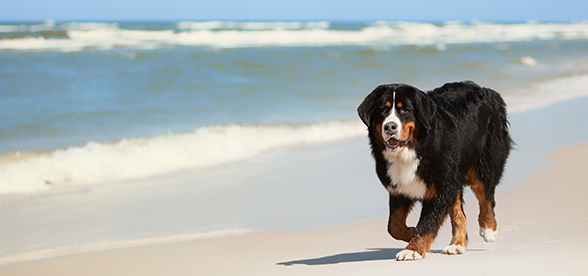 Bernese Mountain Dog Temperament And Training