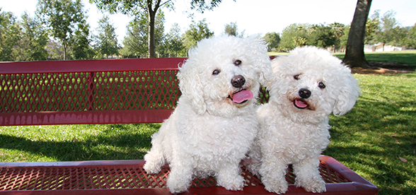 Bichon Frise Dog Exercise And Personality