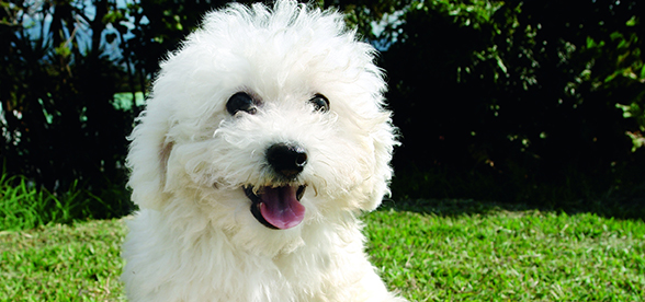 Bichon Frise Dog Facts And Characteristics