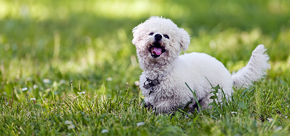 Bichon Frise Dog Health Problems And Lifespan