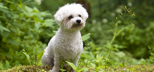 Bichon Frise Dog Origin And History