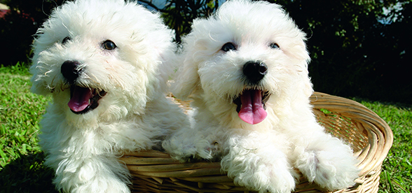 Bichon Frise Dog Temperament And Training