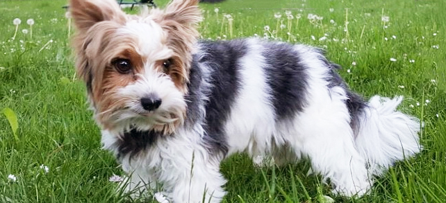 Biewer Terrier Dog Breed