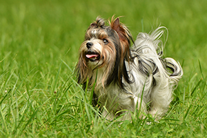 Biewer Terrier Dog Breeds