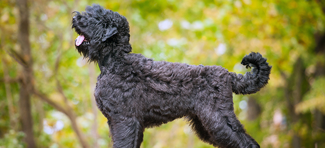 The Definitive Guide To Black Russian Terrier Dogs