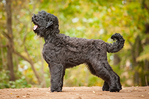 Black Russian Terrier Dog Breeds
