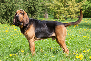Bloodhound Dog Breeds