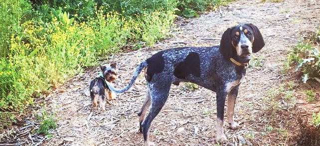 Bluetick Coonhound Dogs - Definitive Guide To Bluetick ...