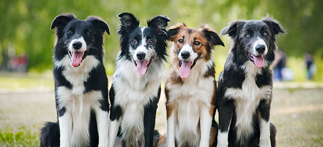 The Definitive Guide To Border Collie Dogs