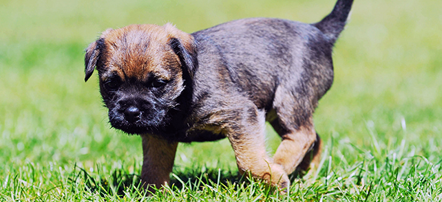 The Definitive Guide To Border Terrier Dogs