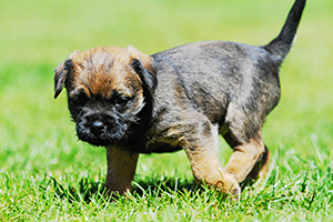 Border Terrier Dog Breeds
