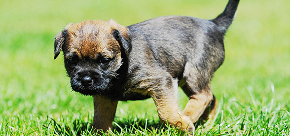 Border Terrier Dog Exercise And Personality