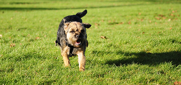 Border Terrier Dog Facts And Characteristics