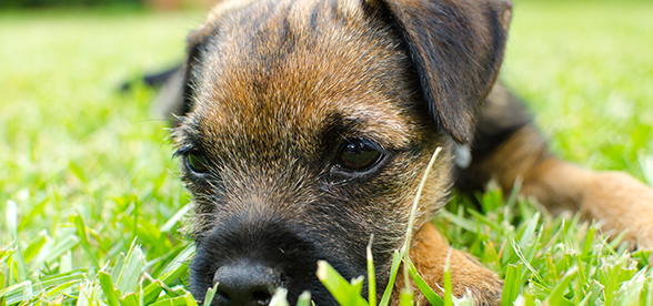 Border Terrier Dog Feeding And Diet