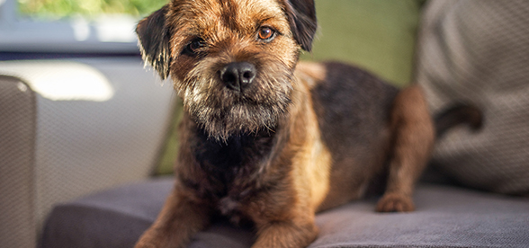 Border Terrier Dog Health Problems And Lifespan