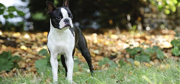 Boston Terrier Dog Health Problems And Lifespan