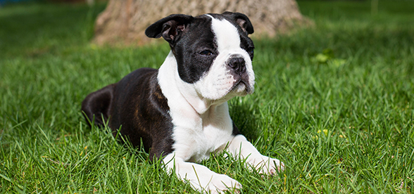 Boston Terrier Dog Origin And History