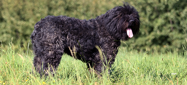 The Definitive Guide To Bouvier Des Flandres Dogs